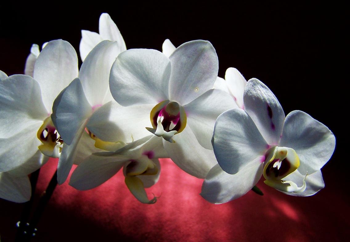 Weisse Orchidee - Glarean Magazin